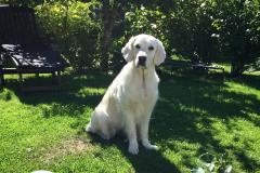 Estella-Golden-retriever-6