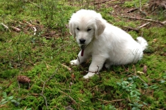 Golden-retriever-18