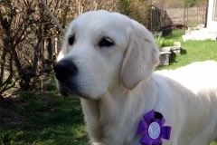 Golden-retriever-7