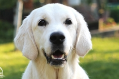 Golden-retriever-9