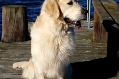 ISo-Close, Golden Retriever