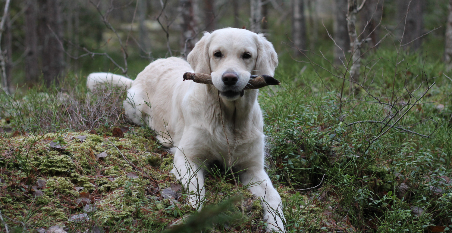 Viltspår-Golden Retriever